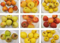 Apfel-Zufallsfindlinge