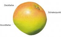 Apfel-Farben