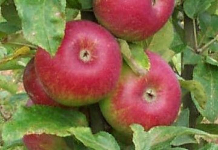 Atemberaubend Obstsorten und Obstarten Liste - Obstgarten.biz #FL_35